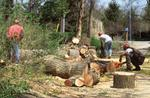 Photograph of foresters cutting up a downed tree trunk